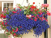 HANGING BASKET WITH LOBELIA,  CALIBRACHOA AND PELARGONIUM