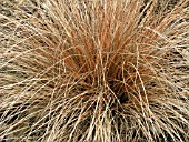 CAREX DANCING FLAME