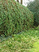 THUJA PLICATA HEDGE WITH TRIMMINGS ON GROUND