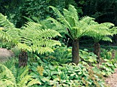 DICKSONIA ANTARCTICA,  TREE FERNS,  YOUNG PLANTS AT WEST DEAN GARDENS.