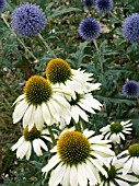 ECHINACEA WHITE SWAN,  & ECHINOPS TAPLOW BLUE,  HARDY PERENNIALS,  PLANT ASSOCIATION