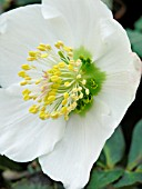 HELLEBORUS NIGER POTTERS WHEEL (CHRISTMAS ROSE)