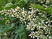 NANDINA DOMESTICA,  EVERGREEN
