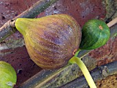 FICUS CARICA BROWN TURKEY,  WALL TRAINED FIG