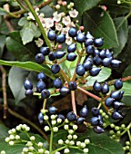 VIBURNUM TINUS EVE PRICE BERRIES