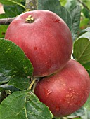MALUS RED DEVIL,  EATING APPLE