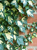 HEDERA GOLDHEART,  VARIEGATED IVY
