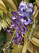WISTERIA SINENSIS,  AUTUMN FLOWERS WITH NEW AUTUMN LEAVES
