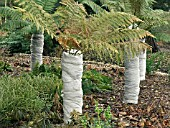 DICKSONIA ANTARTICA,  TREE FERN,   WINTER PROTECTION
