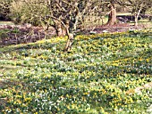 ERANTHIS HYEMALIS,  WINTER ACONITE,  WITH SNOWDROPS AT WEST DEAN GARDENS