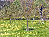 Garden world images search apple blossom - Spring trimming orchard trees healthy ...