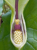 ARUM MACULATUM,  LORDS & LADIES