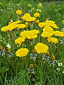 TARAXICUM OFFICINALE,  DANDELION,  NATIVE PERENNIAL WEED