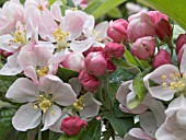 MALUS LADY NORTHCLIFFE,  ORNAMENTAL FLOWERING APPLE