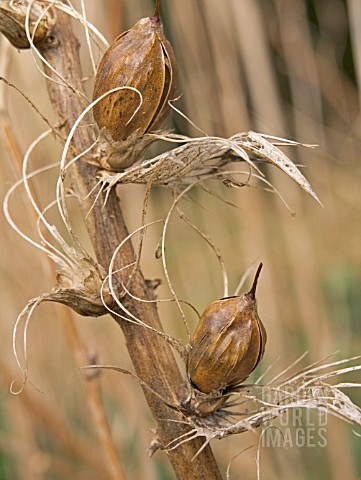 ACANTHUS_MOLLIS_SEED_PODS