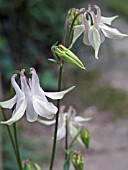 AQUILEGIA VULGARIS,  SHORT SPURRED FORM