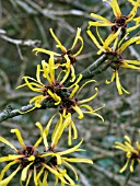 HAMAMELIS MOLLIS (CHINESE WITCH HAZEL)