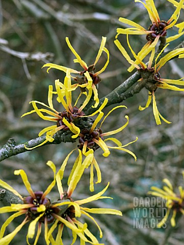 HAMAMELIS_MOLLIS_CHINESE_WITCH_HAZEL