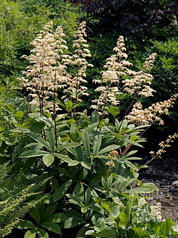 RODGERSIA_AESCULIFOLIA