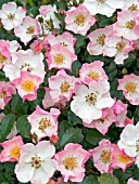 ROSA ROSY CUSHION,  (INTERALL),  SHRUB ROSE