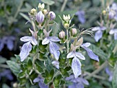 TEUCRIUM FRUTICANS, (TREE GERMANDER)