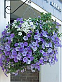 HANGING BASKET WITH PETUNIA & VERBENA