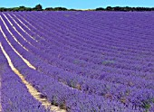 LAVANDULA ANGUSTIFOLIA MAILLETTE,  UK COMMERCIAL LAVENDER CROP READY FOR HARVEST,  IN SUSSEX.