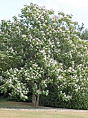 CATALPA X ERUBESCENS PURPUREA,