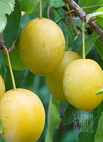 PRUNUS_CERASIFERA_MYROBALAN_CHERRY_PLUM_NATIVE_TREE_USED_FOR_HEDGING_AND_AS_A_PLUM_ROOTSTOCK