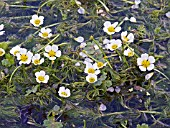 RANUNCULUS AQUATILIS, WATER CROWFOOT, NATIVE WATER WEED