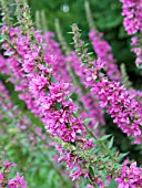 LYTHRUM SALICARIA, PURPLE LOOSESTRIFE