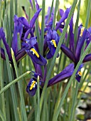 IRIS RETICULATA DARK PURPLE