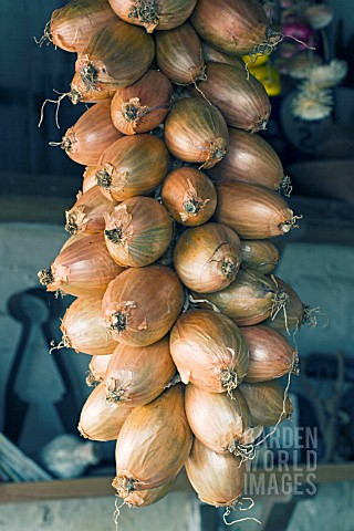 ALLIUM_ASCALONICUM_SHALLOTS_FOR_WINTER_STORAGE_IN_POTTING_SHED_OCTOBER