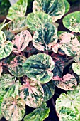 PEPEROMIA  CAPERATA PINK LADY, TENDER POT PLANT, OCTOBER