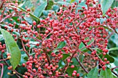 PHOTINIA X FRASERI RED ROBIN,  FRUITS,  NOVEMBER