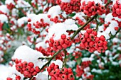 COTONEASTER X WATERERI JOHN WATERER,  SEMI EVERGREEN SMALL TREE,  WINTER FRUITS IN SNOW,  JANUARY