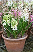 HYACINTHUS ORIENTALIS LINNOCENCE,  FORCED POT PLANT BULB,  SHOWING HAZEL TWIG SUPPORT,  FEBRUARY