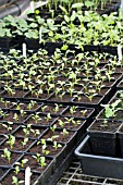 SPRING VEGETABLES,  POT GROWN SEEDLINGS INCLUDING CELERY,  APIUM GRAVEOLENS,  JANUARY