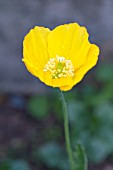 MECONOPSIS CANTABRICA, WELSH POPPY, HARDY BIENNIAL, APRIL