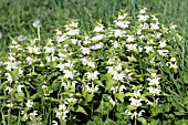 LAMIUM ALBUM, (WHITE DEADNETTLE)