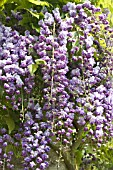WISTERIA FLORIBUNDA BLACK DRAGON, DOUBLE WISTERIA