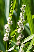 SPARGANIUM ERECTUM, BRANCHED BUR-REED, NATIVE WATERSIDE PLANT
