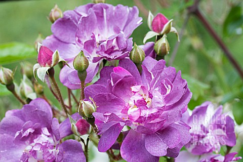 tre8099 rosa 39 veilchenblau 39 rambler rose asset details. Black Bedroom Furniture Sets. Home Design Ideas
