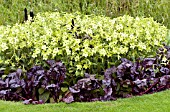 NICOTIANA LIME GREEN & BETA BULLS BLOOD, TOBACCO & BEETROOT, SUMMER BEDDING
