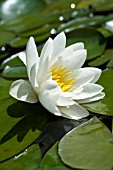 NYMPHAEA CANDIDA, HARDY-WATER LILY, JULY