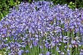 AGAPANTHUS SP, MASS FLOWERING FOR CUTTING, JULY