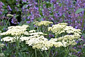 ACHILLEA CREDO AGAINST NEPETA SIX HILLS GIANT, HARDY PERENNIALS, JULY
