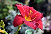 HEMEROCALLIS CHICAGO APACHE, HARDY DAY LILY, AUGUST