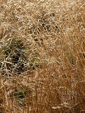 DESCHAMPSIA_FLEXUOSA_WAVY_HAIR_GRASS