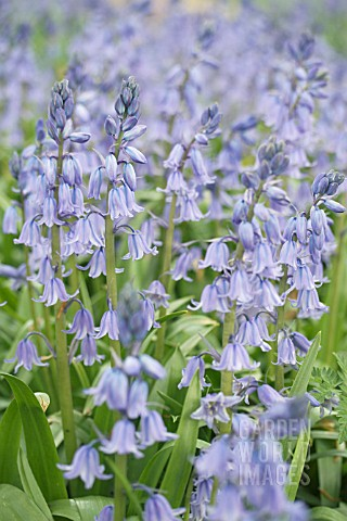 HYACINTHOIDES_HISPANICA_BLUE_QUEEN____